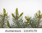 new buds of colorado silver... | Shutterstock . vector #13145170