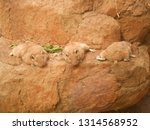 Three Lazy Gundi Animals...