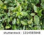 speckled aucubaceae  green | Shutterstock . vector #1314585848