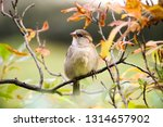 sparrow bird sitting on tree... | Shutterstock . vector #1314657902
