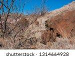 cacti of big bend national park....   Shutterstock . vector #1314664928
