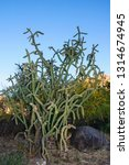 cylindropuntia imbricata  or...   Shutterstock . vector #1314674945
