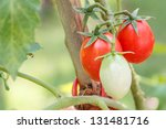 ripe tomatoes  which tied with... | Shutterstock . vector #131481716
