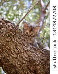 Stock photo cute tabby kitten peers out from behind the branch of an olive tree rough brown bark harmonizes 1314872708