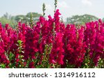 colorful flower of snapdragon... | Shutterstock . vector #1314916112