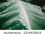 banana leaf with water drops | Shutterstock . vector #1314923015