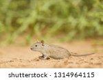 four striped grass mouse  ... | Shutterstock . vector #1314964115