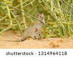 four striped grass mouse  ... | Shutterstock . vector #1314964118