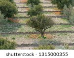 orange trees after a strong... | Shutterstock . vector #1315000355