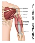 musculus triceps brachii 3d... | Shutterstock .eps vector #1315030742
