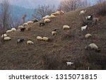 Flock Of Sheep Grazig