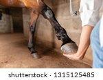 Small photo of Veterinarian examining horse leg tendons. Selective focus on hoof.