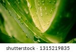 vivid green aloe vera and water ... | Shutterstock . vector #1315219835