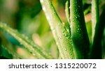 vivid green aloe vera and water ... | Shutterstock . vector #1315220072