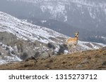Single Pronghorn Antelope On A...