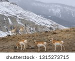 Row Of Pronghorn Antelope And...