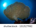 A Large Table Coral  Acropora...
