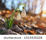 snowdrop or common snowdrop ... | Shutterstock . vector #1315420328