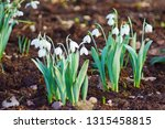 closeup of early spring white... | Shutterstock . vector #1315458815