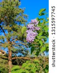 blooming lilacs branch  pine... | Shutterstock . vector #1315597745