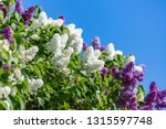 blooming white and purple... | Shutterstock . vector #1315597748