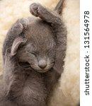 Stock photo kitten sleeping russian blue cat 131564978
