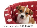 Stock photo red spotted pet bed with little jack russel puppy 131566496