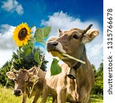 Brown cow with flower in muzzle. Beautiful flower meadows of central Switzerland and blue sky in the background. Greeting card for Valentine