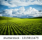 rows of fresh green wheat in... | Shutterstock . vector #1315811675