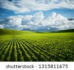 rows of fresh green wheat in... | Shutterstock . vector #1315811675