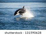 killer whale | Shutterstock . vector #131590628