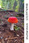 Fly Agaric In The Forest...