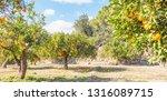 summer garden with orange trees | Shutterstock . vector #1316089715