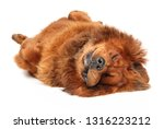red tibetan mastiff relaxing on ... | Shutterstock . vector #1316223212