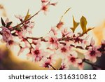 beautiful blooming peach trees... | Shutterstock . vector #1316310812