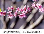 beautiful blooming peach trees... | Shutterstock . vector #1316310815