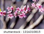 beautiful blooming peach trees... | Shutterstock . vector #1316310815