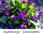 close up of purple violet... | Shutterstock . vector #1316310842
