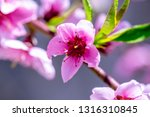 beautiful blooming peach trees... | Shutterstock . vector #1316310845