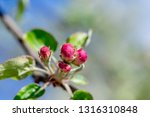 the flower buds of the apple... | Shutterstock . vector #1316310848