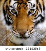 Close Up Of A Tigers Face.