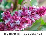 blooming lilac branch in... | Shutterstock . vector #1316363435