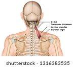 levator scapulae muscle anatomy ... | Shutterstock .eps vector #1316383535
