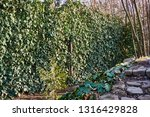 ivy is an excellent choice for... | Shutterstock . vector #1316429828