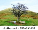solitary tree with no leaves in ... | Shutterstock . vector #1316450408