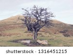 solitary tree with no leaves in ... | Shutterstock . vector #1316451215