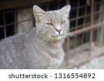 Gray Homeless Cross Eyed Cat On ...