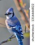 a male blue jay bird stands on...   Shutterstock . vector #1316666822