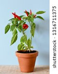 Red Chili Pepper And Plant