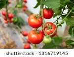 ripe tomato plant growing in... | Shutterstock . vector #1316719145